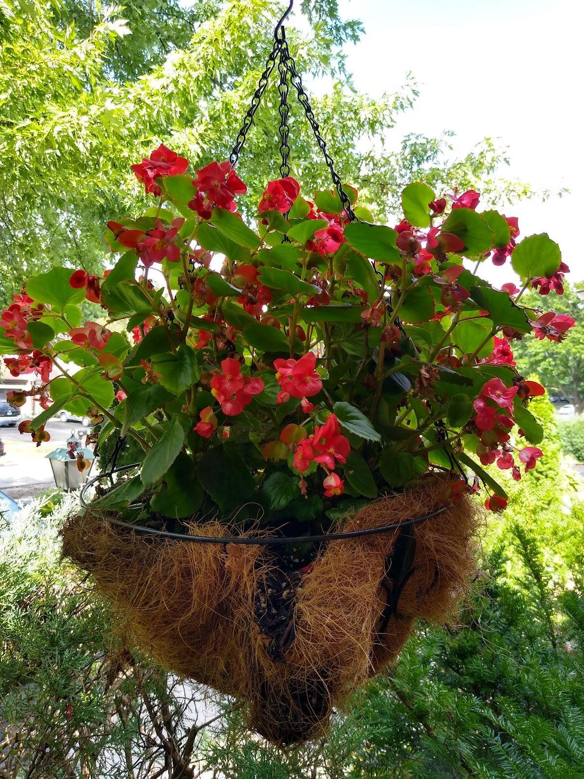 hanging basket begonias picture