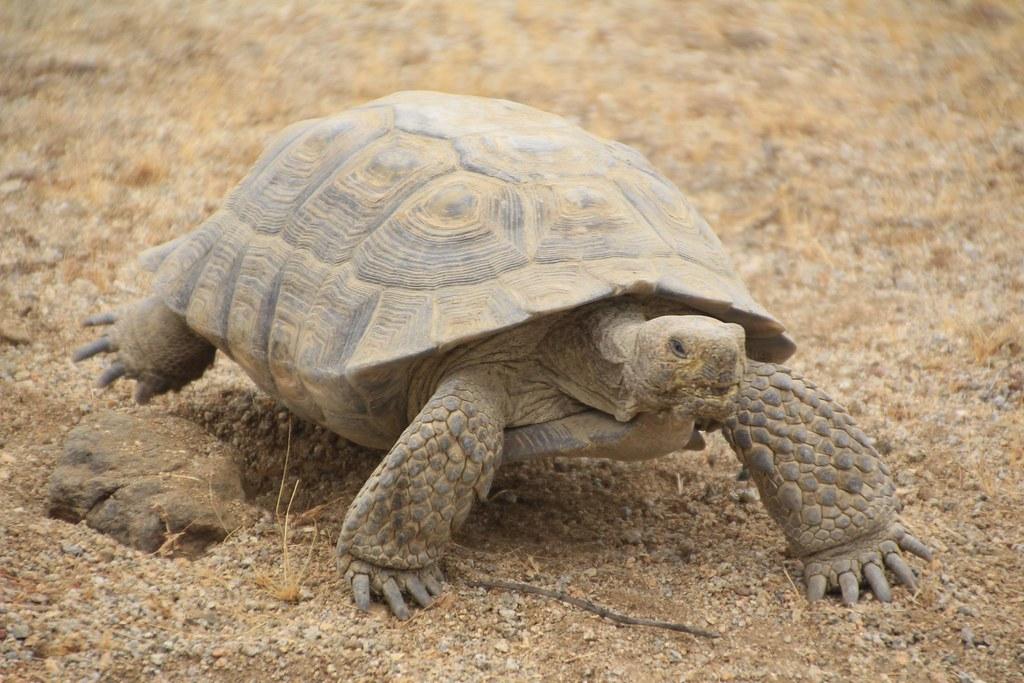 Desert tortoise in the Mojave Desert.