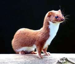 Image result for weasels