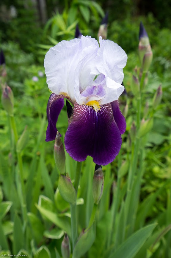 紫と白のコントラストが鮮やか
