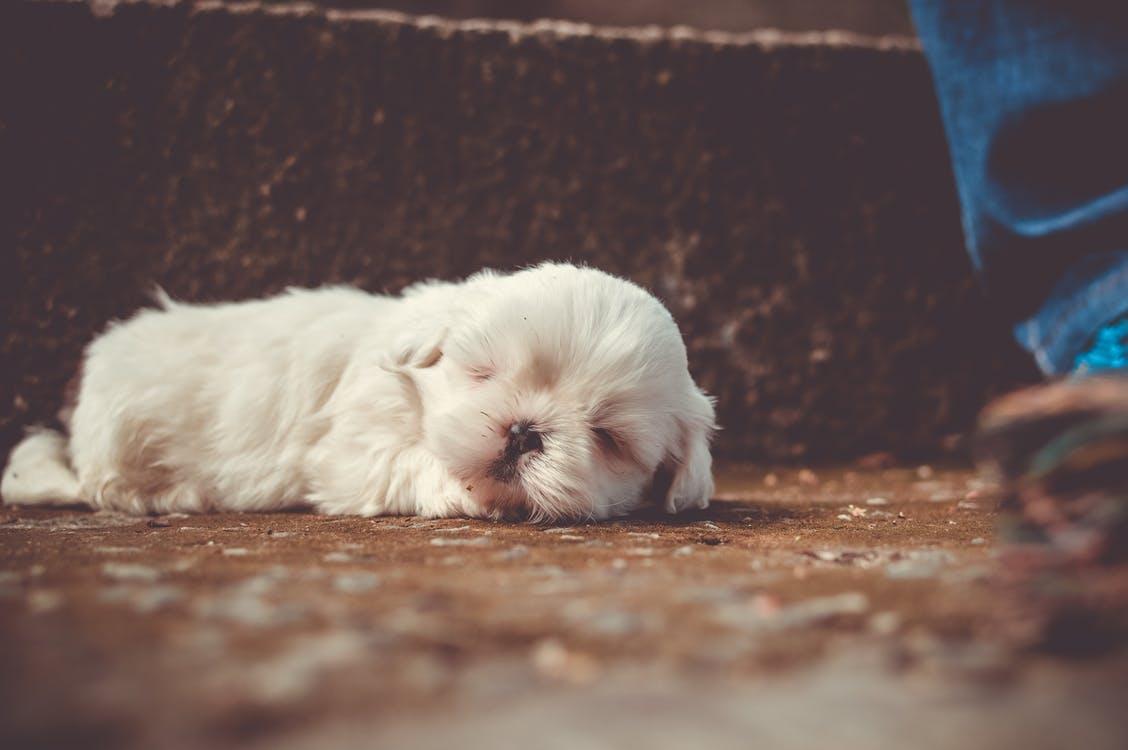 White Little Dog Sleeping