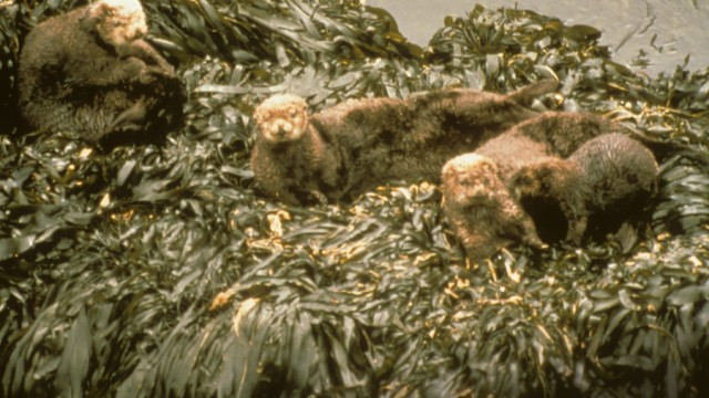 seaottersdotcom-exxon-valdez-oiled-sea-otters-640x360.jpg