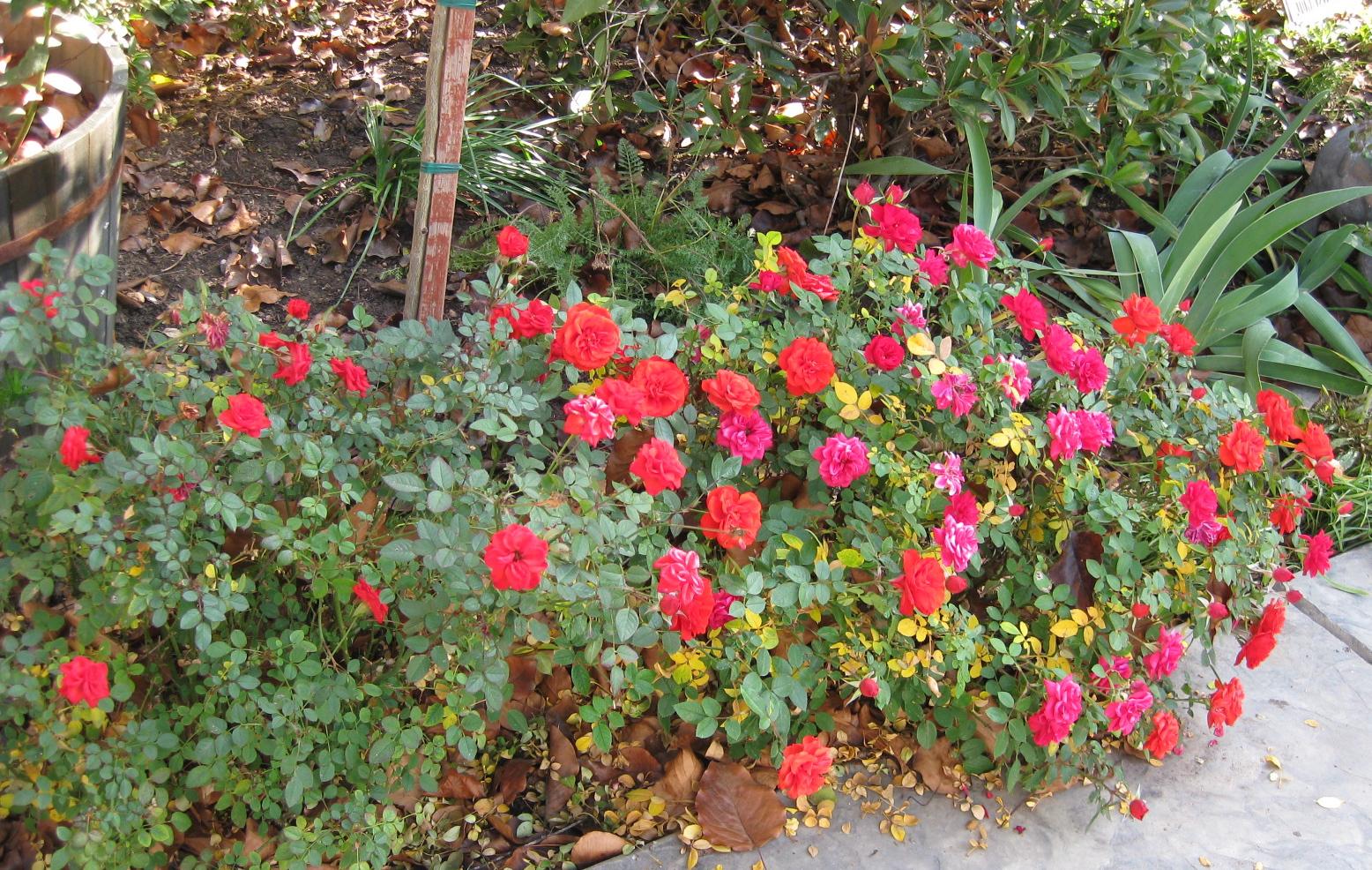 Jardineria plantas y su cuidado rosas miniatura for Jardineria rosales