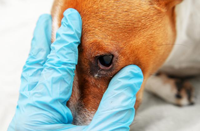 Xử lí đau mắt ở chó kịp thời tránh gây hậu quả đáng tiếc