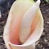 Hạt giống cây Cây Lưỡi Quỷ Hồng - Amorphophallus bulbifer AMO00035
