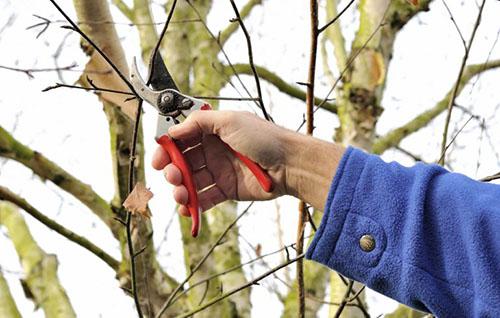 Как правильно обрезать фруктовые деревья