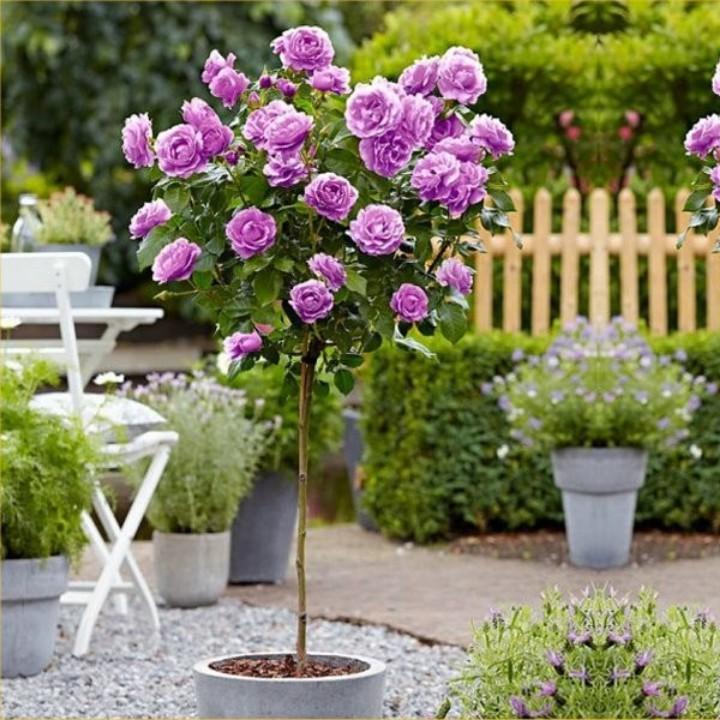 Hoa Hồng thân gỗ, hoa to, cành có gai