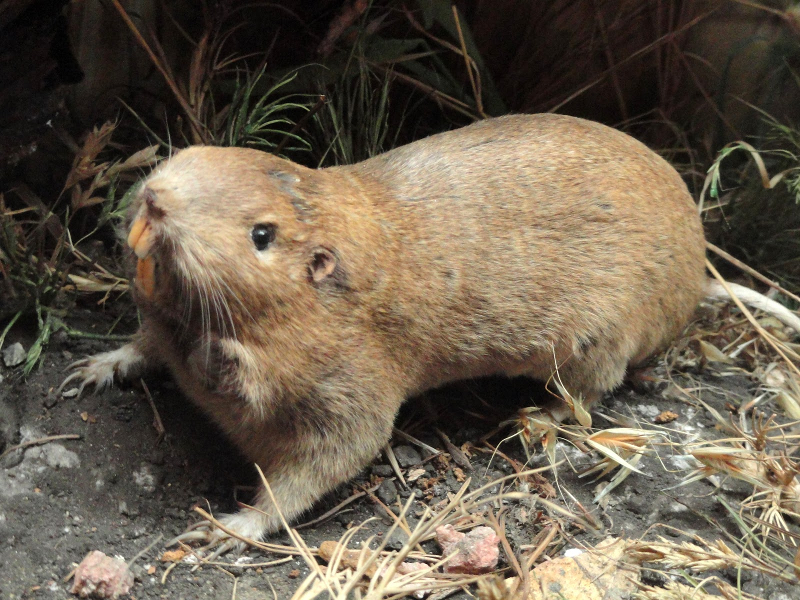 File:Pocket gopher - Pacific