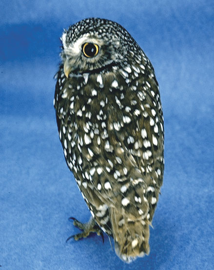 When presented to a rehabilitation center, an insectivorous raptor, the burrowing owl, should have pesticide toxicity investigated to document this common but seldom proven condition