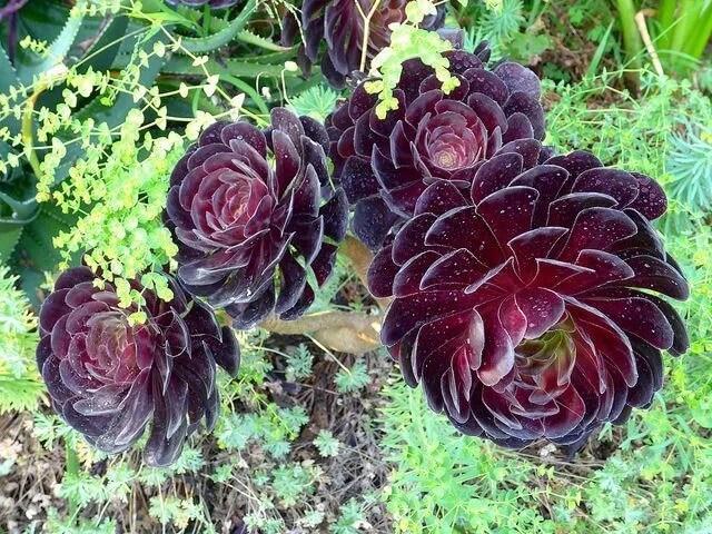 Cuidados Aeonium Cabeza negra