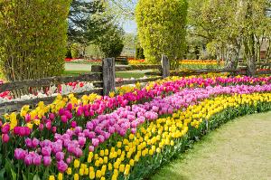 оформление цветника тюльпанами.jpg