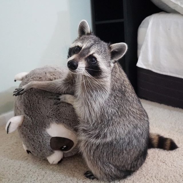 pet raccoon with stuffed toy