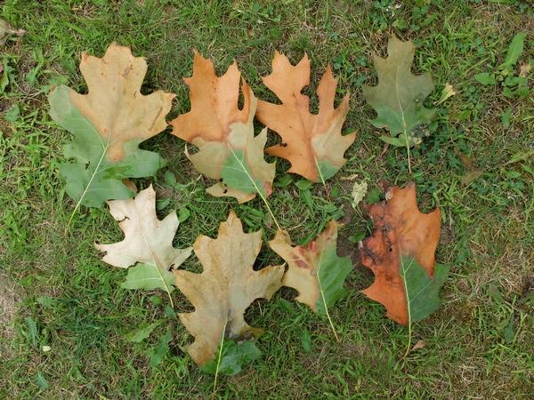 Oak leaves impacts by Oak Wilt, a tree disease cause by a fungus.