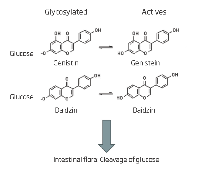 Formation of active isoflavones from glycosylated compounds in which the cleavage of glucose is carried out.