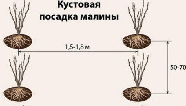 Кустовая посадка малины
