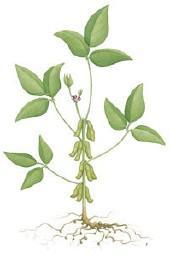 http://www.factofthematter.org/img/biodiesel%20images/soybean.jpg