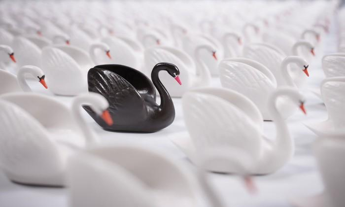 black swan in a group of white swans