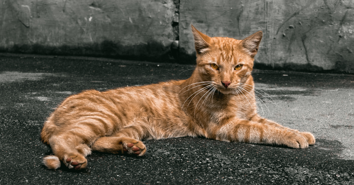 An tabby with a mixture of red and orange.