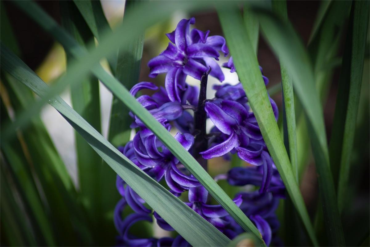 Hidden Hyacinth.jpg
