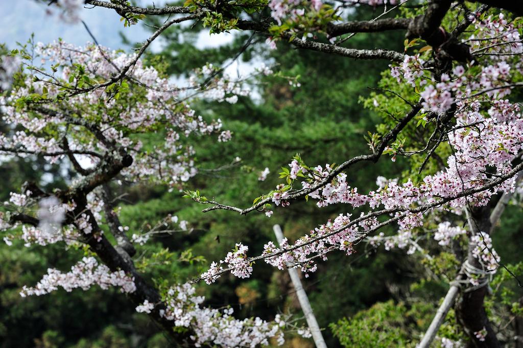 Không chỉ có Nhật Bản mà ngay tại Đài Loan cũng có anh đào khoe sắc rực rỡ