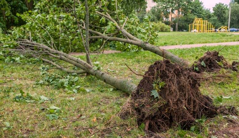 trees uprooted from a hurricane