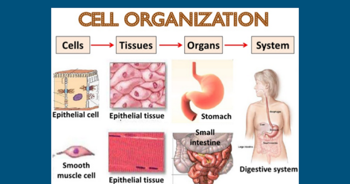 cells tissues organs systems - Google Slides