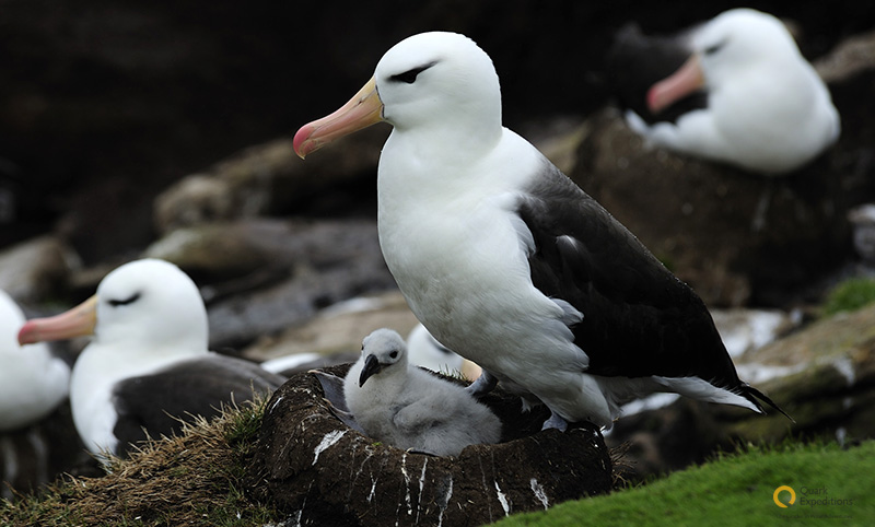 A black browed albatross perches over its nest, keeping watch over a recently hatched chick in the Falkland Islands.