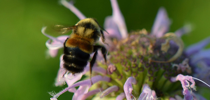 A rusty patched bumble bee on a bergamot blossom