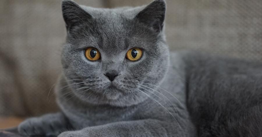 gatto-certosino-grigio