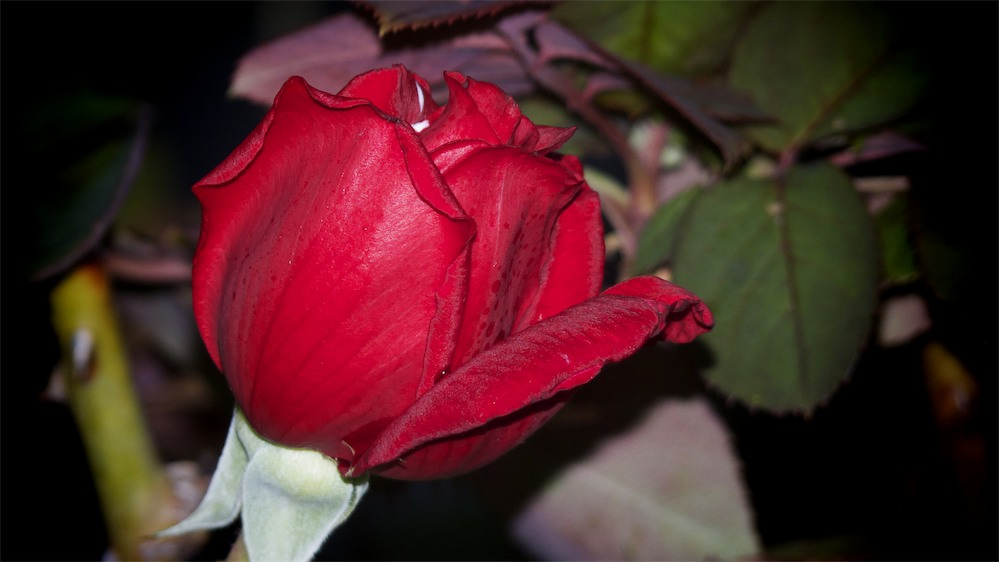 Red Night Rose.jpg
