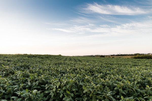 Соя, растущая на поле в окрестностях Линкольна, штат Небраска — одна из многих сельскохозяйственных культур, в которой количество питательных веществ меняется в результате повышения концентрации CO₂ в атмосфере. Фото: Джефф Джонсон/POLITICO