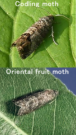 Comparison between codling moth and oriental fruit moth adults.
