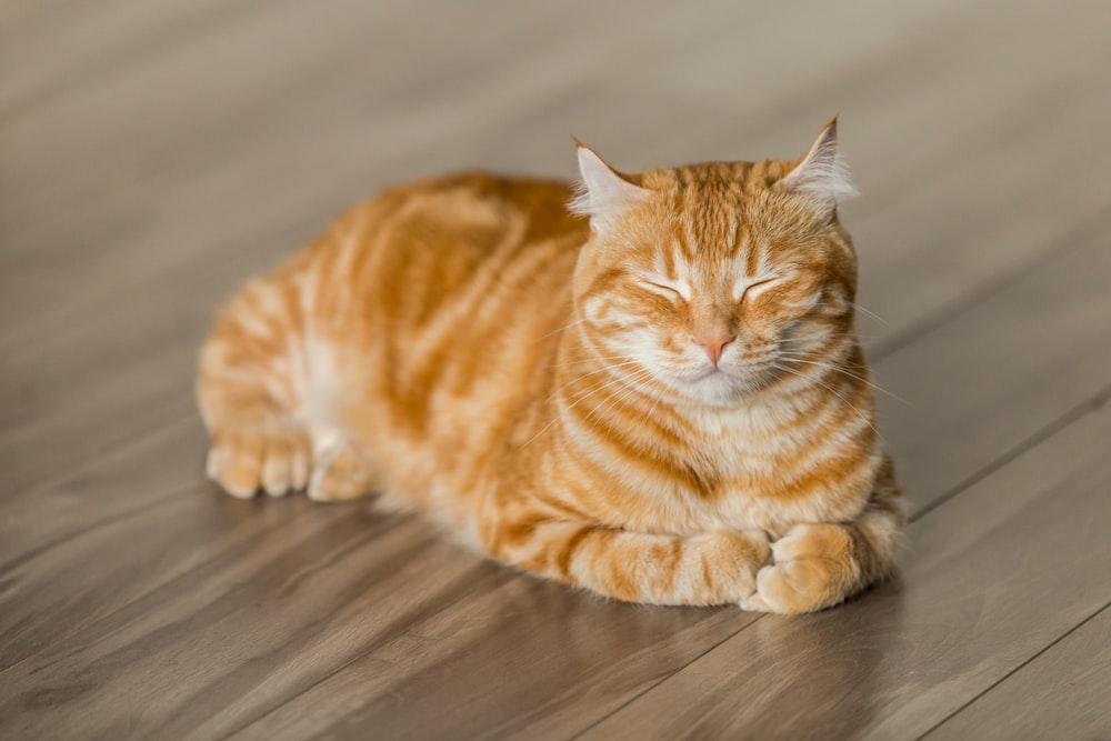 orange tabby cat on brown parquet floor