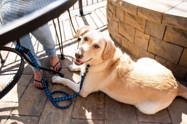 Smiling yellow lab laying down under a table on a patio