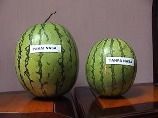 Distributor-pupuk-nasa-untuk-semangka-085231271500-memaksimalkan -hasil-semangka