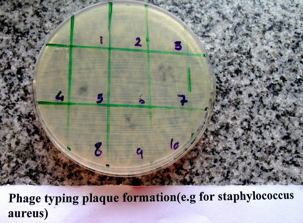 Phage typing plaque formation