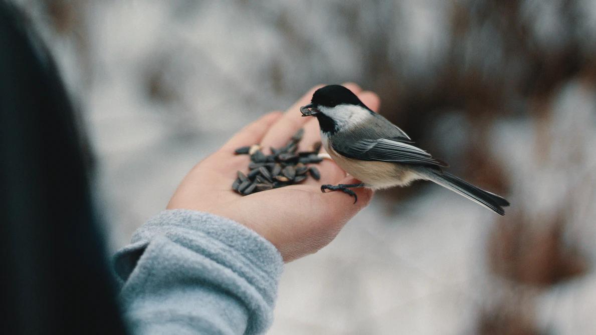 Päevalilleseemned lindudele