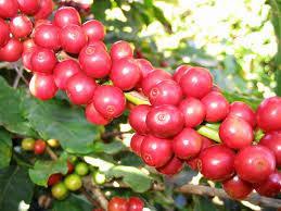 Motherland địa chỉ chuyên cung cấp cà phê hạt giá sỉ cho quán