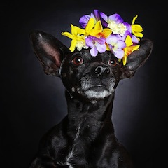 black-dog-portraits-floral-crown-guinnevere-shuster-3.jpg