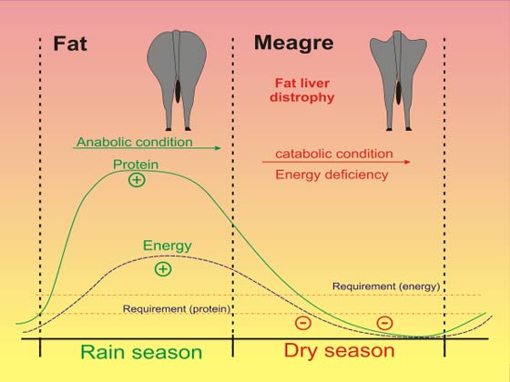 Effect of the rainy season with high pasture supply and the dry season, on body condition score (BCS) in cattle and buffaloes [38].