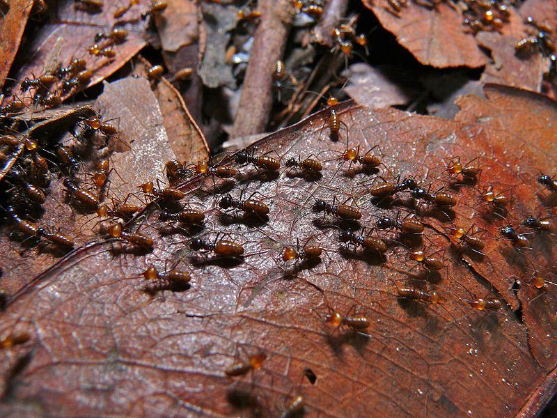 File:Termites (Nasutitermes sp.) (8439859723).jpg
