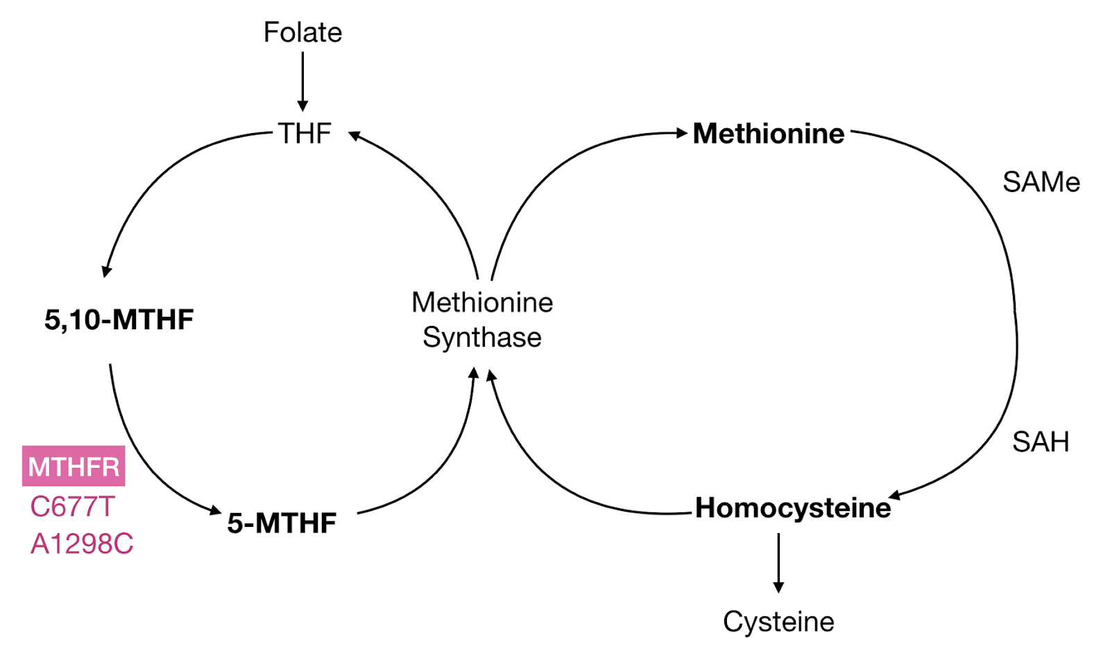 MTHFR produces 5-MTHF, the primary biologically active form of folate.