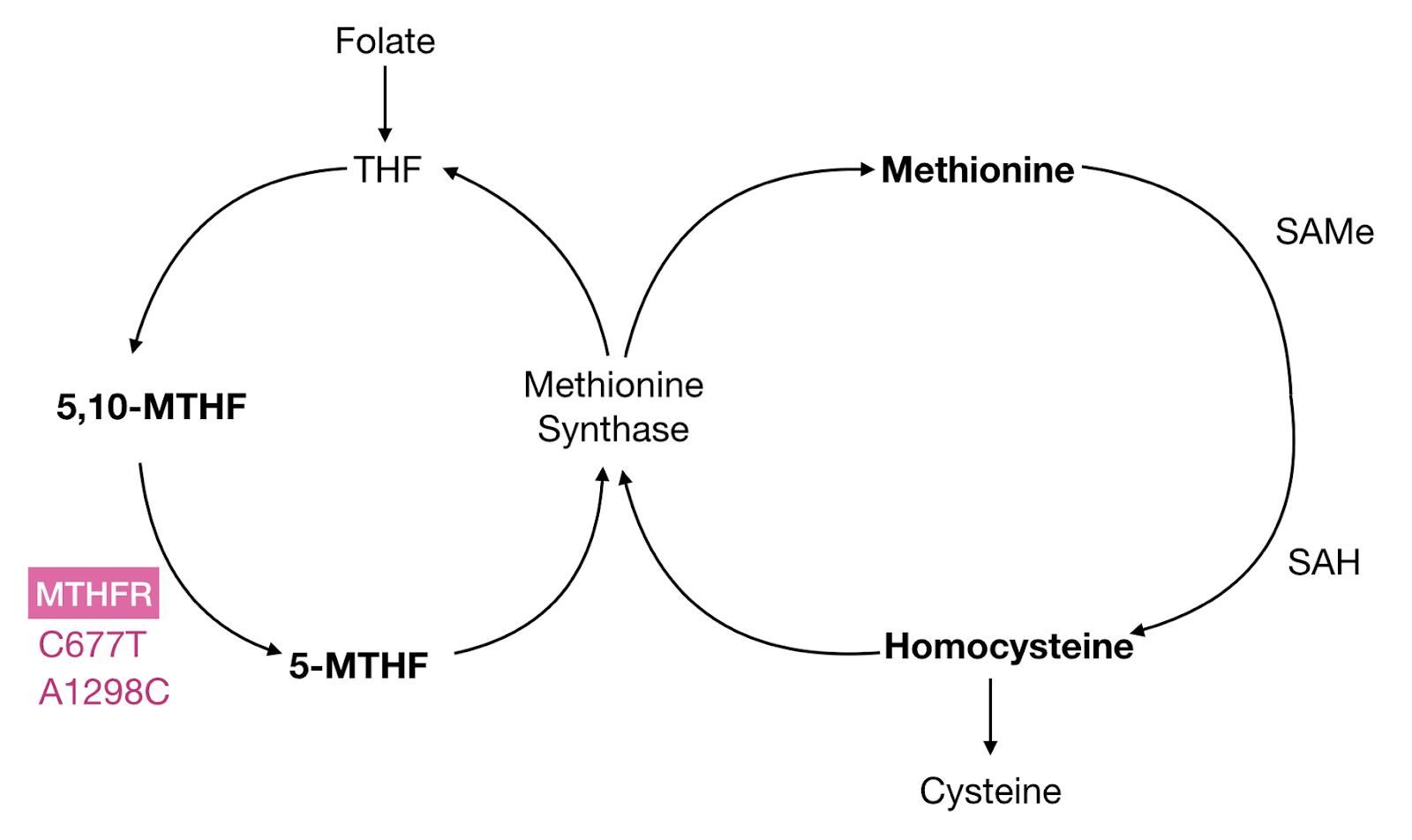 ينتج MTHFR 5-MTHF ، وهو الشكل الأساسي النشط بيولوجيًا من حمض الفوليك.