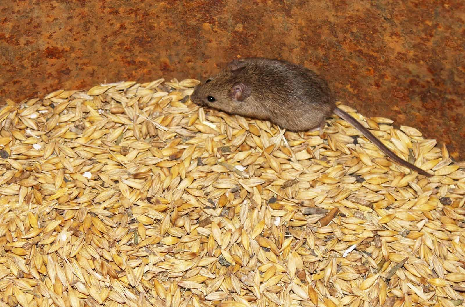Keeping Rodents Out of Your Feed Room – The Horse