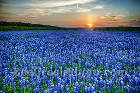 Texas Hill Country Blue Bonnets - Bee Creek Photo