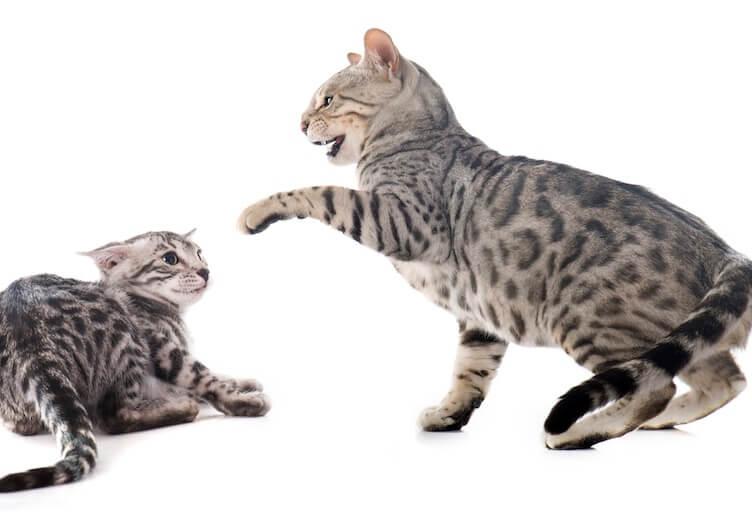 mèo vờn nhau