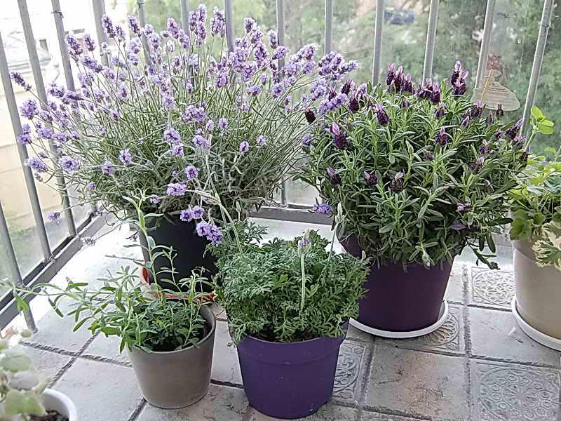 7. ต้นลาเวนเดอร์ (Lavender)