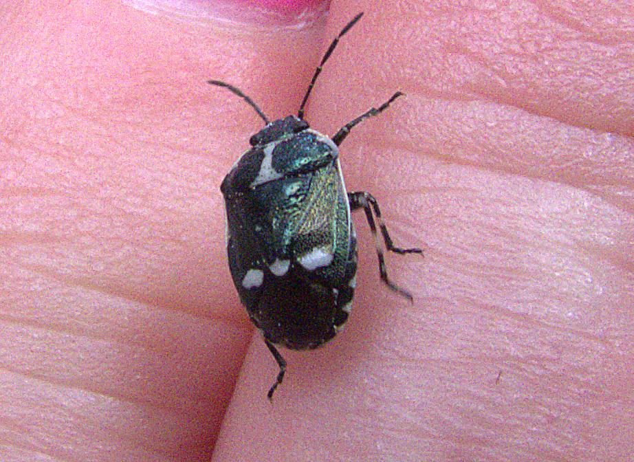 crucifer shieldbug.jpg