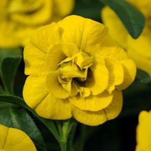 MiniFamous Double® Deep Yellow