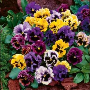 Image result for pansy frizzle sizzle mix